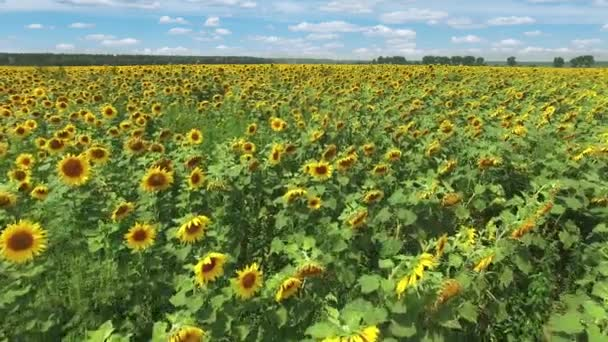 Aerial view of the flowering sunflowers field at noon.