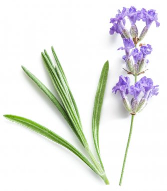 Bunch of lavandula or lavender flowers isolated on white backgro