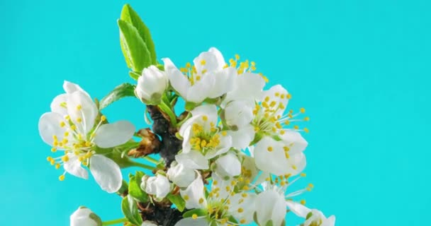 Jarní květiny. Švestkové květy na švestkové větvi kvetou na modrém pozadí. Časová prodleva 4K videa.