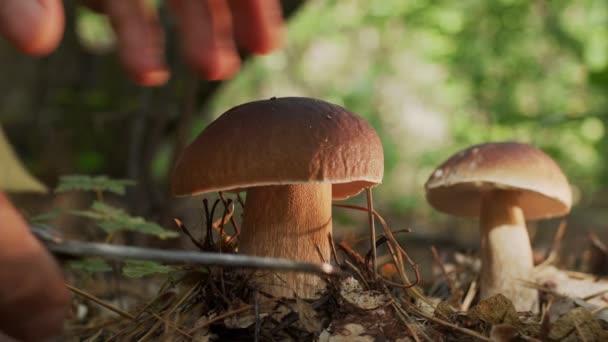 Reife Steinpilze (Steinpilze oder Steinpilze) im herbstlichen Wald, die Hand eines Pilzsammlers schneidet einen großen Steinpilz mit einem Pilzmesser.