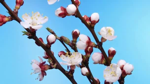 Meruňkové květinářství na modrém pozadí
