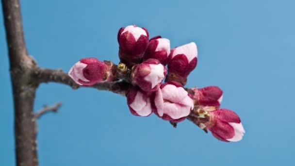 Časová prodleva 4k video meruňkový květ květu