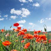 Fotografie Field of red dainty poppies.