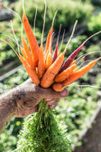 Photo Carrots  in mans hand. Garden on the background.