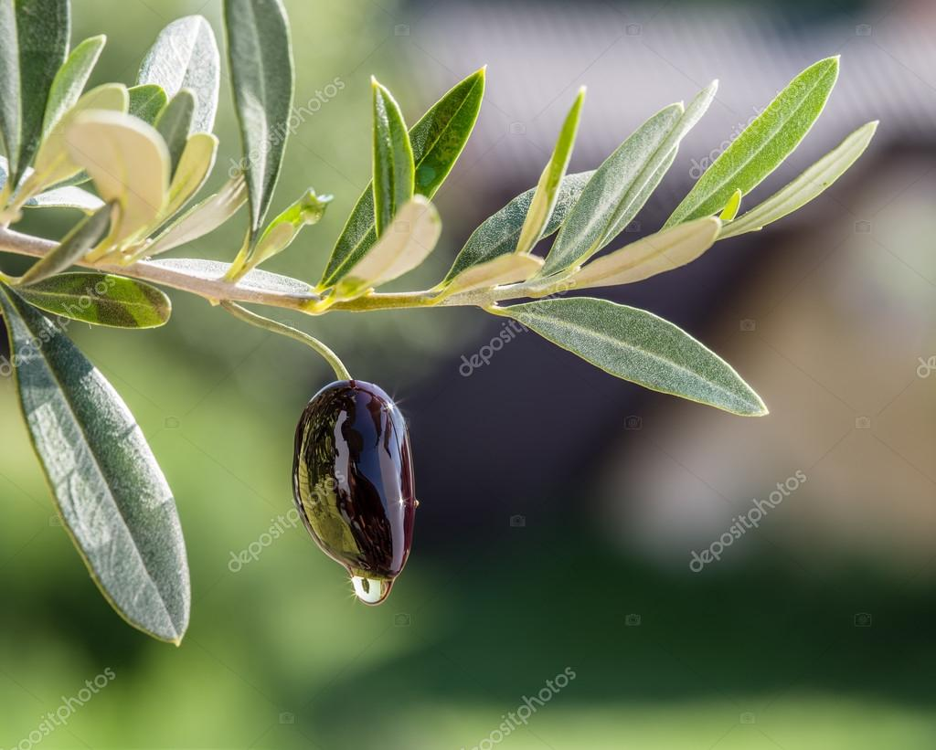 Olive oil drops from the olive berry. Conceptual picture.