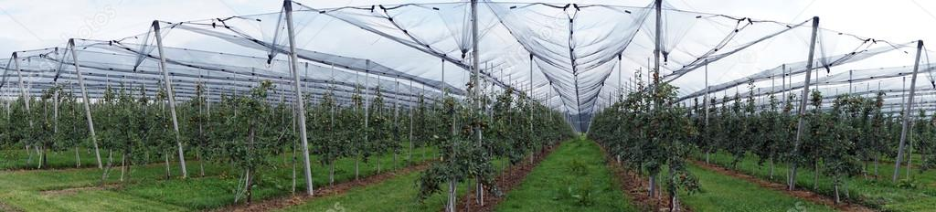 Risultati immagini per filari mele
