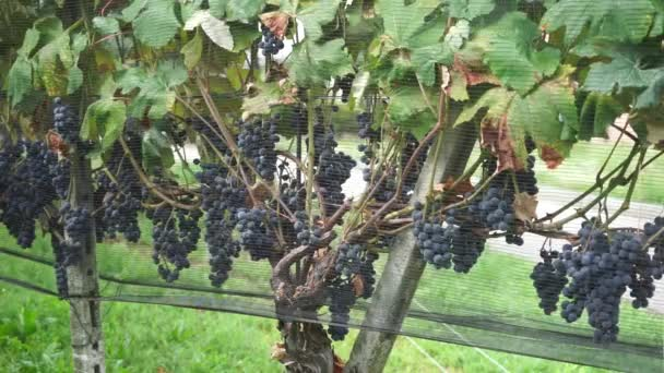 Grapes in vineyard, Switzerland