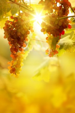 Art Ripe grapes on a vine with bright sun background. Vineyard h