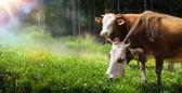 umění kráva pasoucí se na horské louce