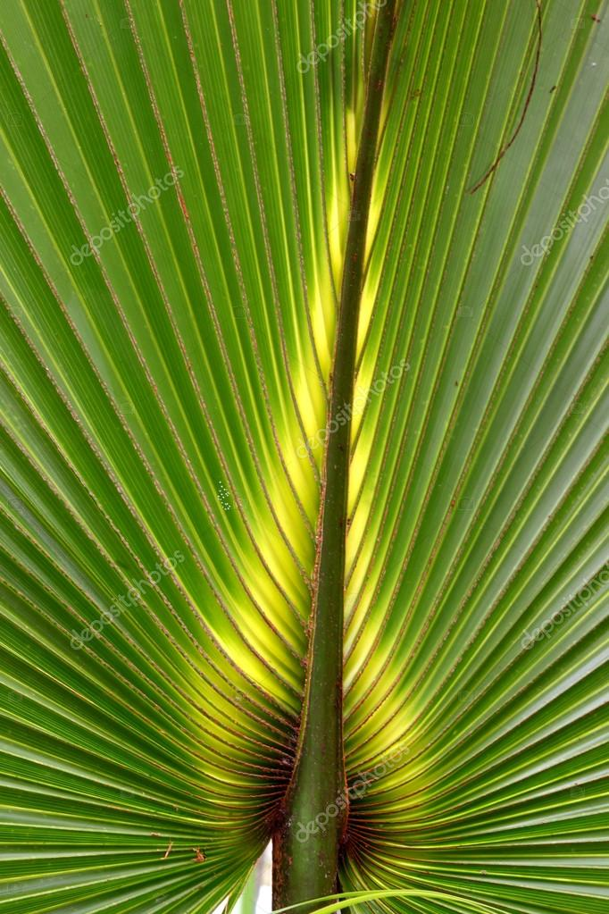 palmier nain de floride