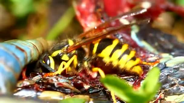 Východní Yellowjacket jíst had