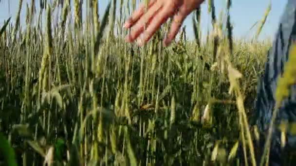 Man walking in wheat field