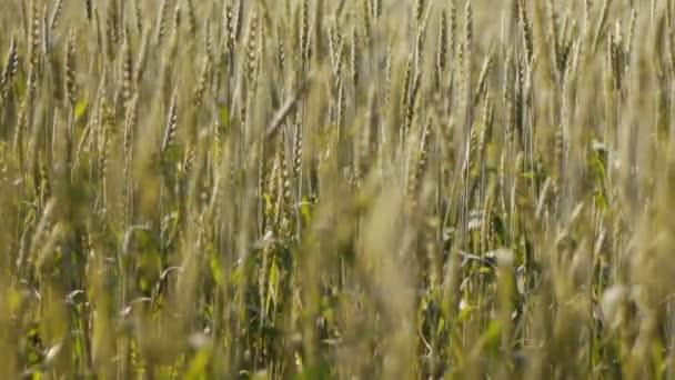 Pšeničné pole s větrno