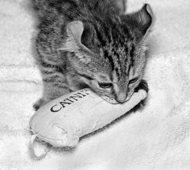 A Cute Highlander Lynx Kitten Playing with Catnip Toy