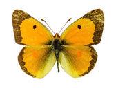 Közös elborult sárga pillangó