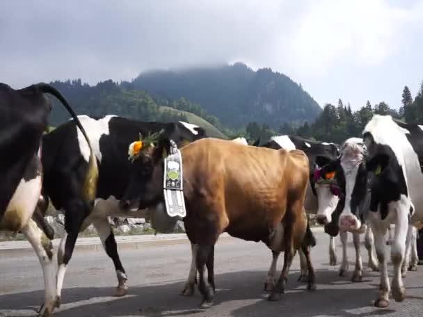 Mucche sullannuale transumanza a Charmey sulle Alpi svizzere