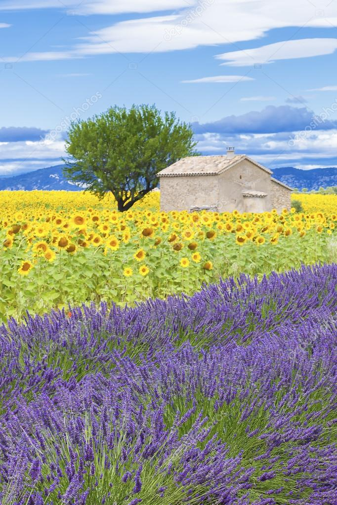 View of lavender and sunflower field