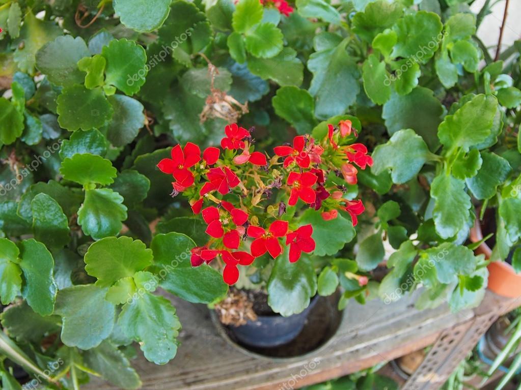 Fleur Kalanchoe Rouge Photographie Claudiodivizia C 85404230