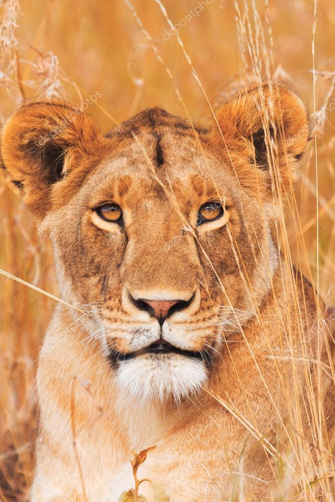 Female lion portrait