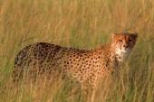 Mužské gepard v Masai Mara