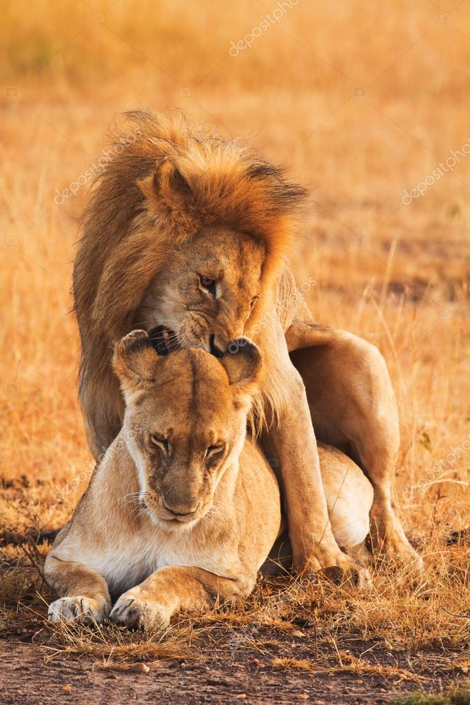 Mating lions in Masai Mara