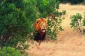 Fotografie Muž Lev v Masai Mara