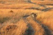 Photo Female lion in Masai Mara