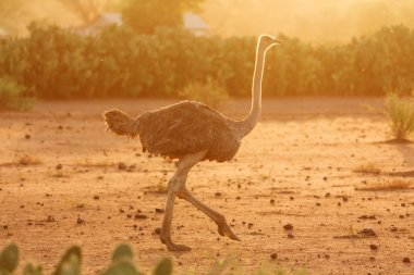 Female ostrich, Amboseli park, Kenya