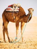 Photo Single Camel in a desert