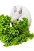 Bílý králík jíst salát