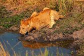 Fotografie Mladý Lev pitné vody