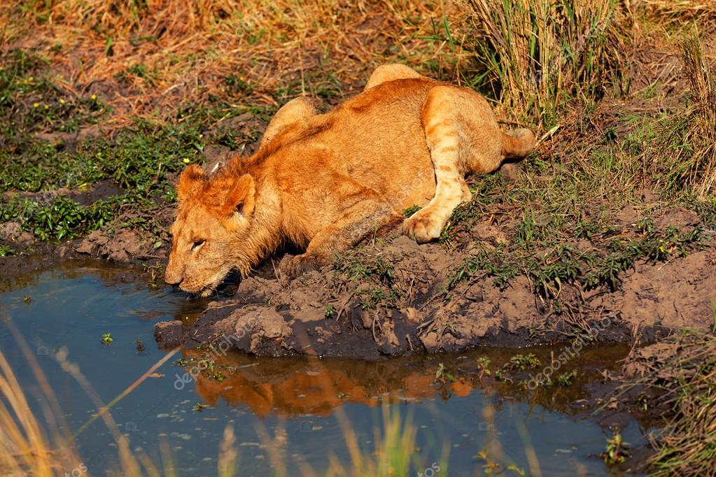 Young lion drinking water