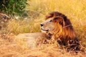 Muž Lev v Masai Mara