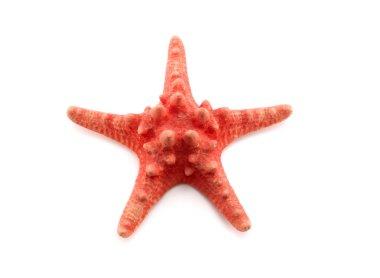 Red starfish on white