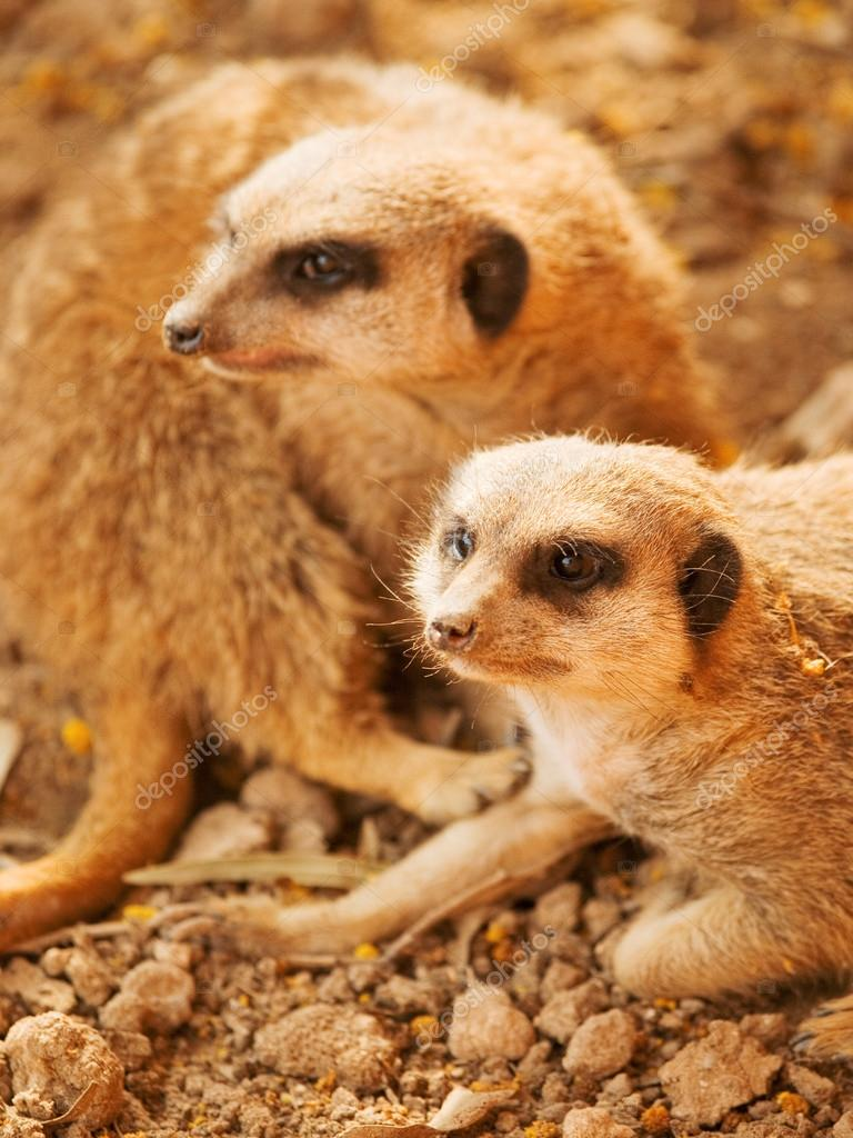 Couple of cute meerkats