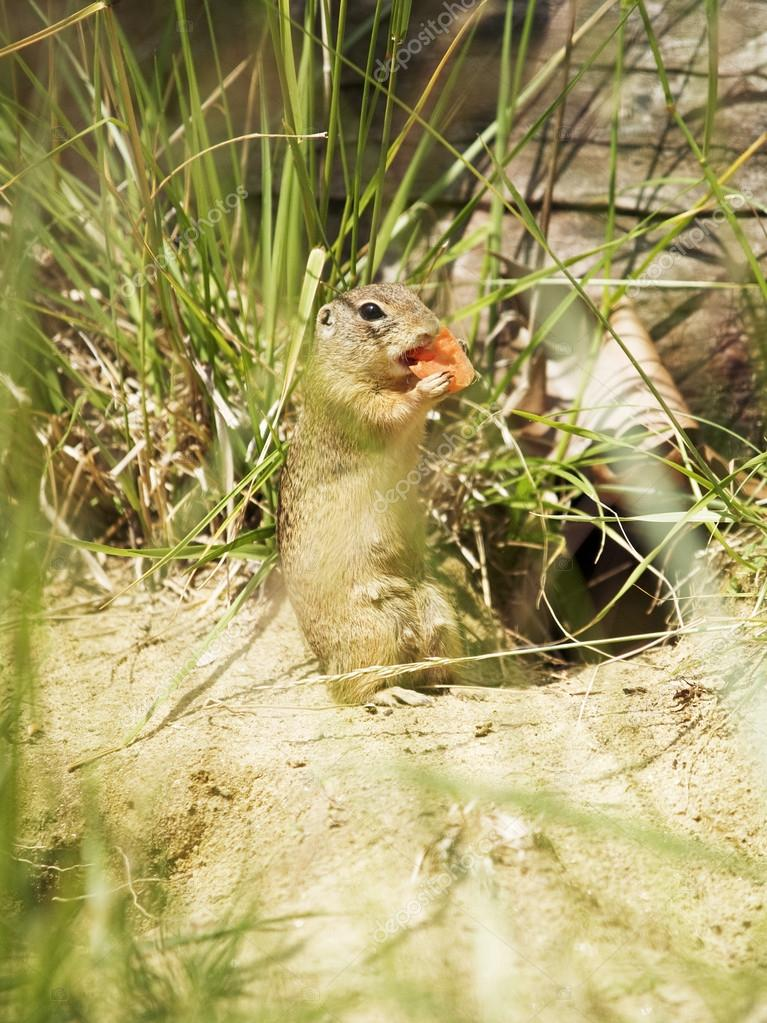 Prairie dog eating carrot