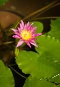 Fotografie Heilige Lotusblume