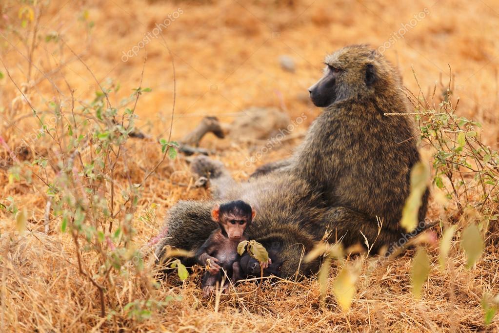 Baby baboon sucking