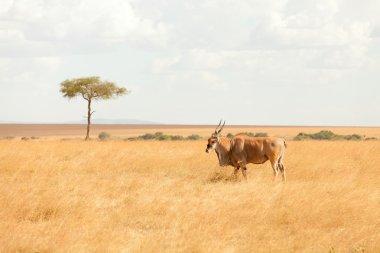 Eland antelope, Masai Mara