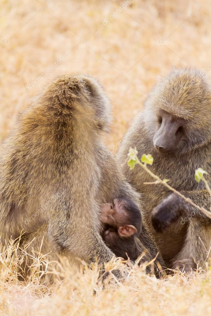 Baby baboon hugging his mother