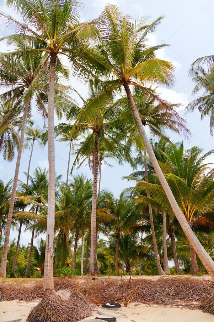 Koh Samui beach with palm trees