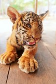 Baby tiger in Thailand