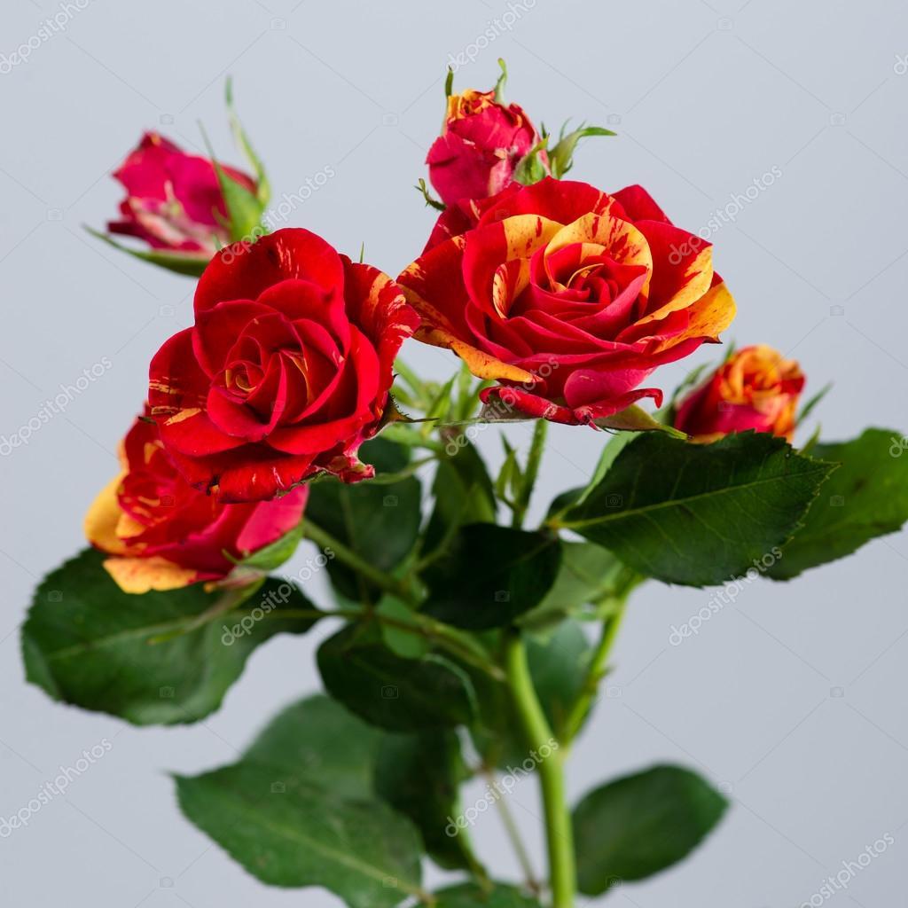 Arbuste Fleur Rouge Orange Rose Sur Fond Gris Photographie Smspsy