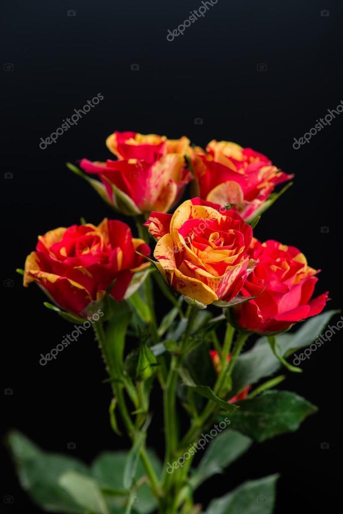 Arbuste Fleur Rouge Orange Rose Sur Fond Noir Photographie Smspsy
