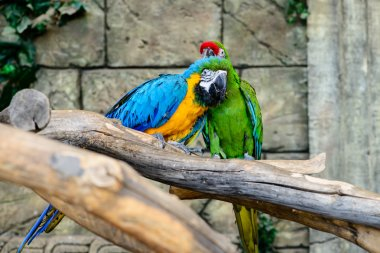 green and blue and yellow parrots wash, grooming