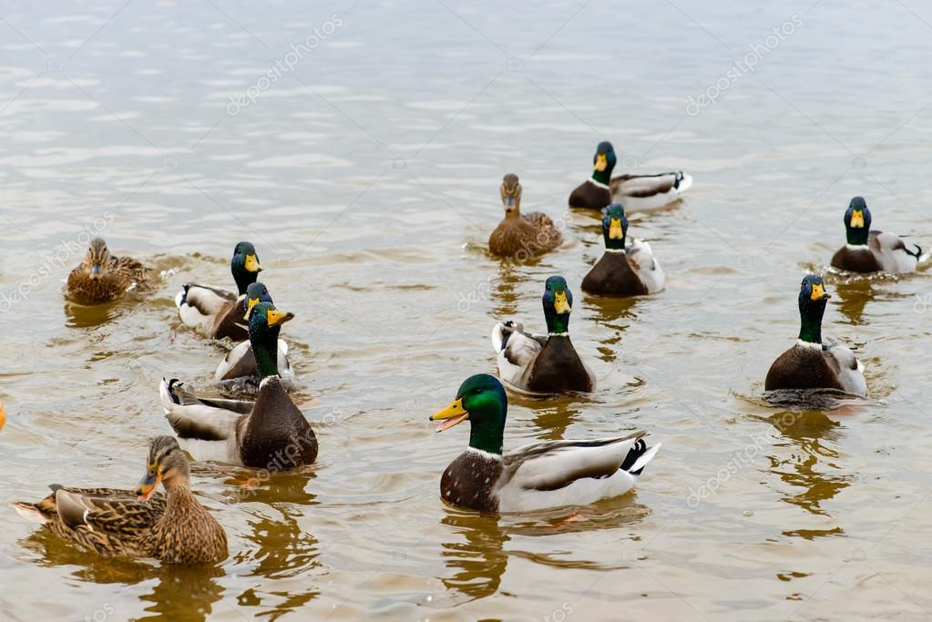 ducks floating in the water, feeding the ducks, bread in beak hu ...