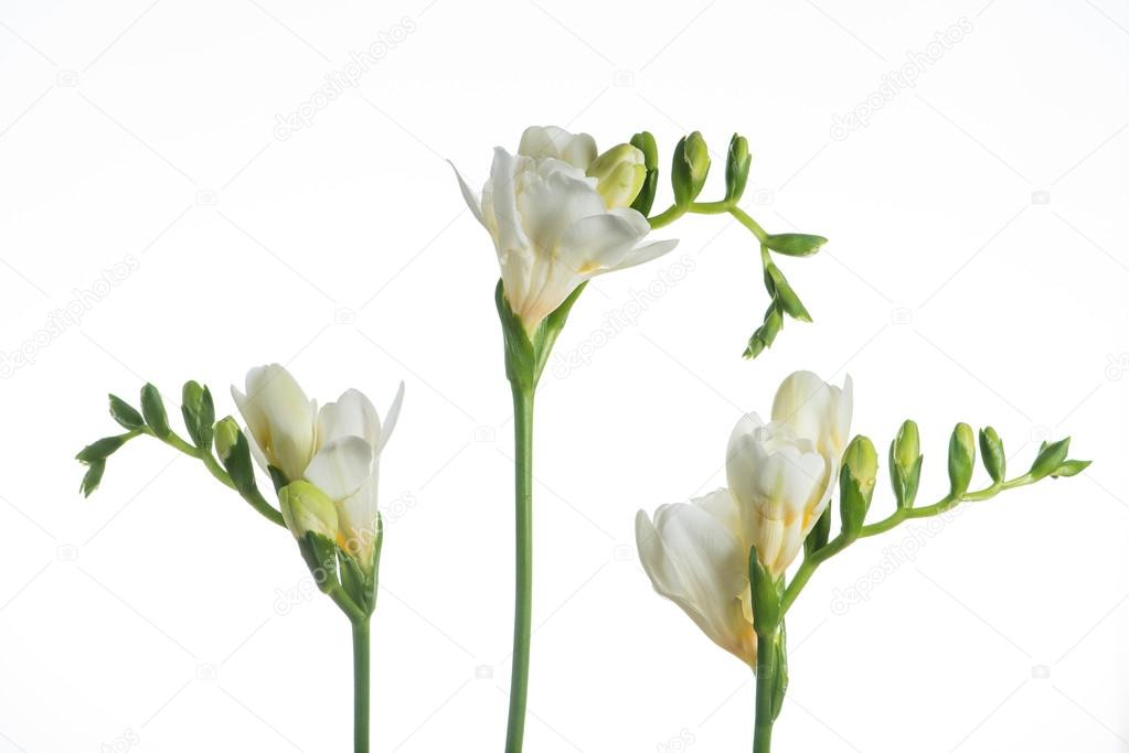 Beautiful white freesia flower close up isolated on white stock beautiful white freesia flower close up isolated on white photo by smspsy mightylinksfo