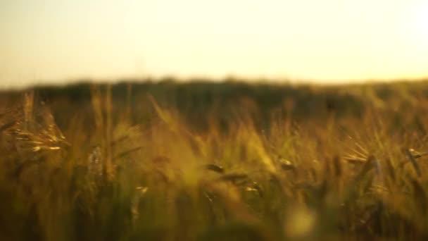 Zlaté tretry na letní slunce pole. Steadicam mělké zaměření shot