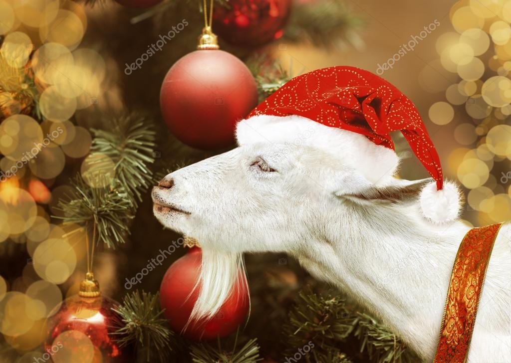 White goat holding in santa claus hat