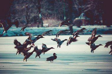 Mallard ducks flying at winter time.